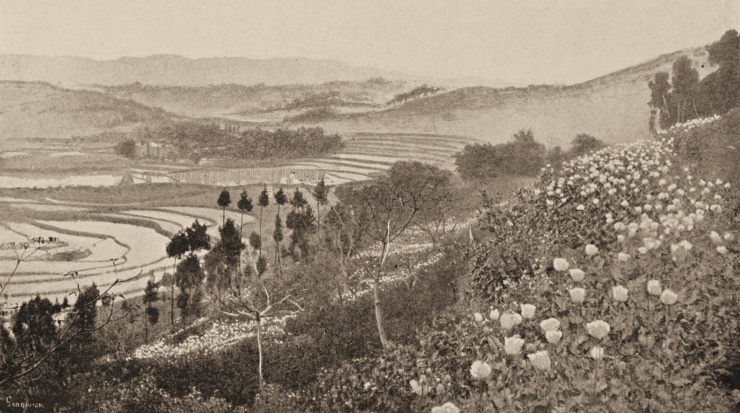 Poppies and terraced rice-fields, by Mrs. Archibald Little, Sichuan province (China) before 1899. As this picture and many more show, only part of the opium which devastated China's society before 1949 was imported by British merchants; most of it was home-grown.